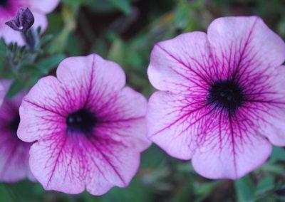 Cvetje Vrtnarstvo Grah